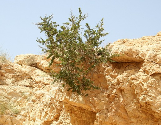 אוג (סירסיה) קוצני Searsia tripartita (Ucria) Moffett