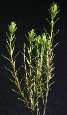 Thymbra spicata L.