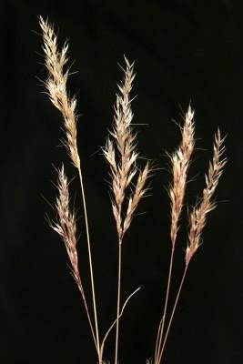 שילשון מדברי Trisetaria macrochaeta (Boiss.) Maire