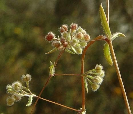 דבקה דקיקה Galium setaceum Lam.