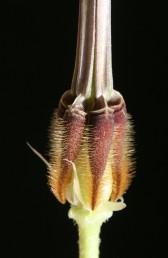 שלוש מחמש הפרודות שמתפתחות בכל פרח; בראש הפרודה שתי גומות מתחתן יש 2-1 חריצים.