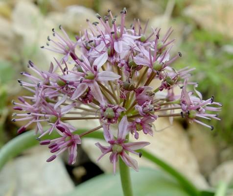 שום אשרסון Allium aschersonianum Barbey