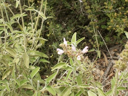 מרווה משולשת Salvia fruticosa Mill.