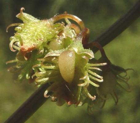 חומעה נפלית Rumex nepalensis Spreng.