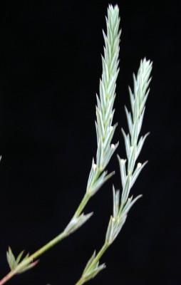 צלבית עשבונית Crucianella aegyptiaca L.