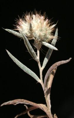 עקצוץ מזרחי Acantholepis orientalis Less.