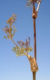 נדן העלים נפוח ועוטף את הגבעול, לפחות בפרקים העליונים, שפות הנדן מחוברות באופן חלקי ויוצרות כעין כוסית סביב הגבעול.