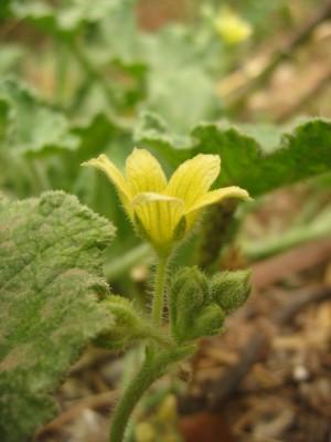 Ecballium elaterium (L.) A.Rich.