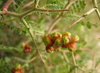בן-שיח קוצני, העלים מורכבים-מנוצים, הפירות חומים בהבשילם ובראשם 4 עלי גביע.