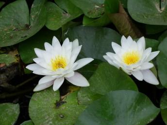 צבע הפרחים לבן או ורוד, קוטרם עד 20 ס