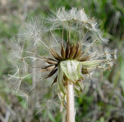 שינן עב-שורש Taraxacum cyprium H. Lindb.
