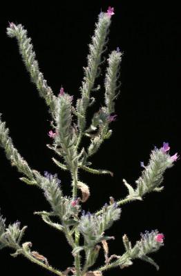 Echium rauwolfii Delile