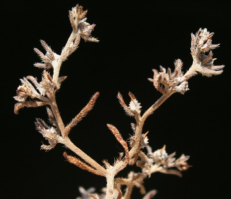 לפית שיכנית Lappula spinocarpos (Forssk.) Asch.