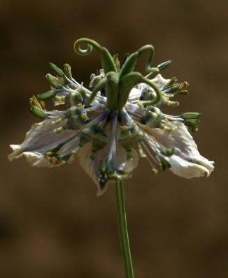 Nigella arvensis L.