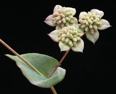 צלע-שור חרוזה Bupleurum subovatum Spreng.