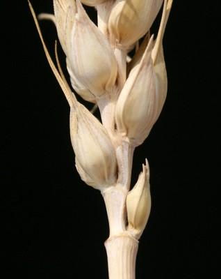 חיטה רכה Triticum aestivum L.