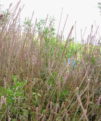 Achyranthes aspera L.