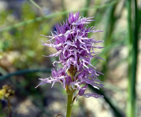 סחלב איטלקי Orchis italica Poir.