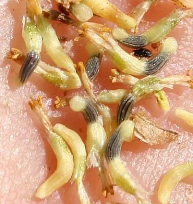 חרצית משוננת Coleostephus myconis (L.) Rchb. f.