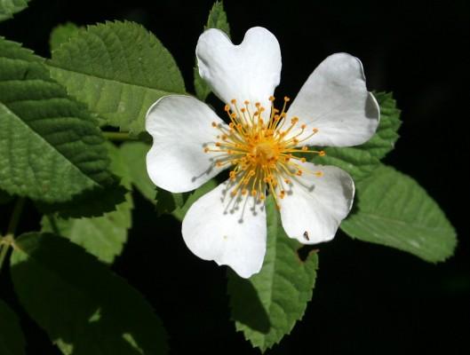 ורד צידוני Rosa phoenicia Boiss.