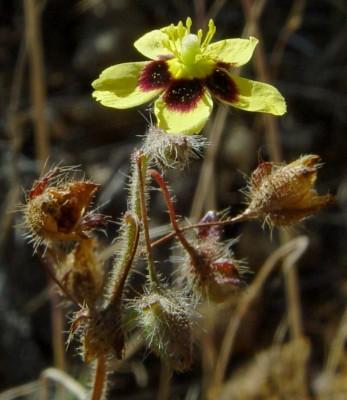 שמשונית הטיפין Xolantha guttata (L.) Raf.
