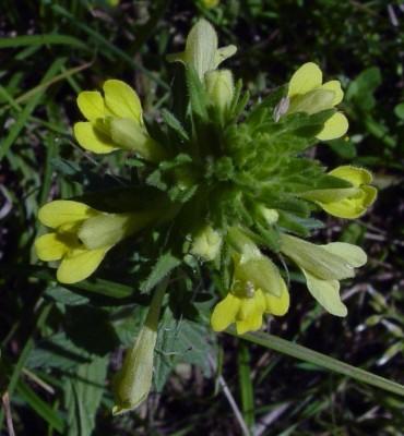 Parentucellia viscosa (L.) Caruel