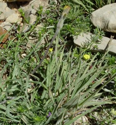 הרדופנין רך Scorzonera mollis M.Bieb.