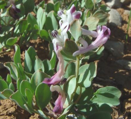 קורידלית פיגמית Corydalis erdelii Zucc.