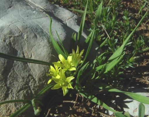 זהבית קטנת-פרחים Gagea micrantha (Boiss.) Pascher