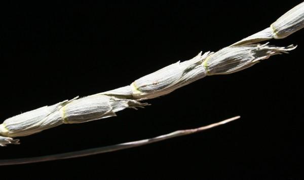 Aegilops vavilovii (Zhuk.) Chennav