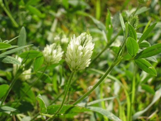 תלתן אלכסנדרוני Trifolium alexandrinum L.