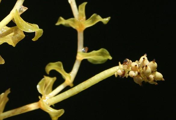נהרונית לופתת Potamogeton perfoliatus L.