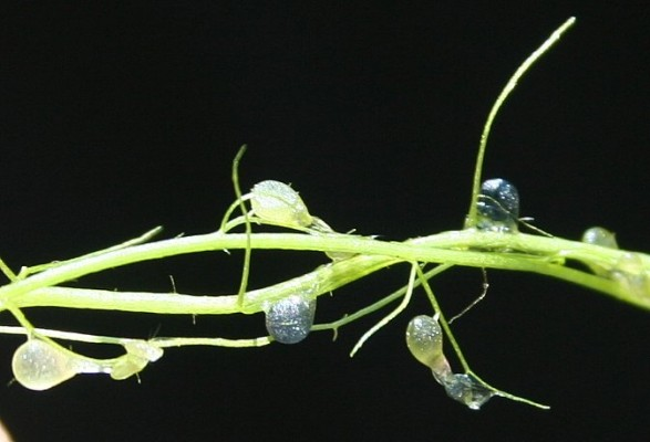 נאדיד עדין Utricularia gibba L.