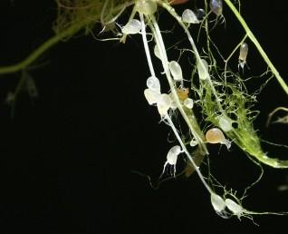 השלחופיות זעירות (1.5-0.75 מ