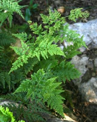 אספלנון שחור Asplenium onopteris L.