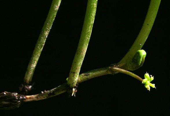 ספלילה מצויה Hydrocotyle ranunculoides L.f.