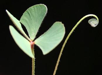 צמחי ביצה, העלים ארוכי פטוטרת ובעלי 4 עלעלים מעוגלים בראשם ודמויי יתד בבסיסם.