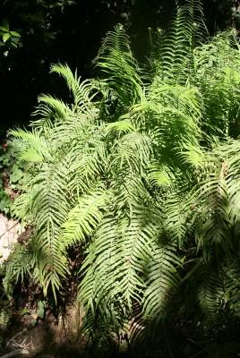 אברה ארוכת-עלים Pteris vittata L.