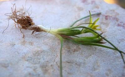 מעטה של שורשים עבים (הוסר אל משמאל לבצל) עוטה את הבצל; מאפיין קרקעות חוליות.