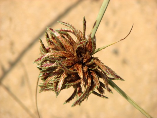 גומא מגובב Cyperus macrorrhizus Nees