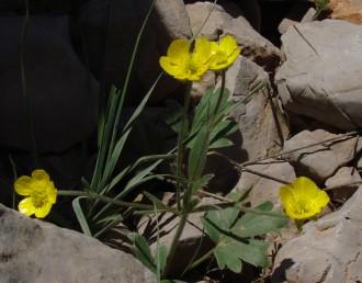 העלים התחתונים מתחדדים ודמויי יתד בבסיסם; העלה בן 3 אונות ועד 12 שיניים.