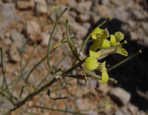אריסימון מיובל Erysimum verrucosum Boiss. & Gaill.