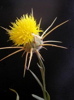 Centaurea verutum L.