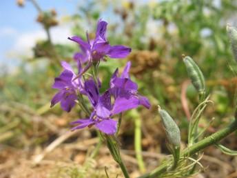 צמחים חד-שנתיים זקופים. העלים גזורים לאונות נימיות או דמויות סרגל. אורך הפרחים 25-20 מ