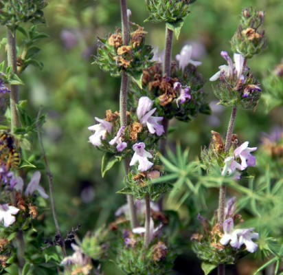 צתרה ורודה Satureja thymbra L.