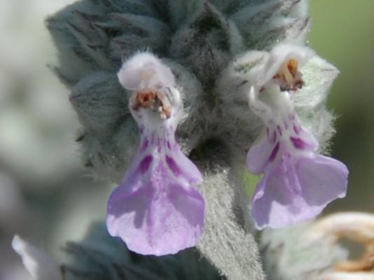 אשבל הביצה Stachys viticina Boiss.