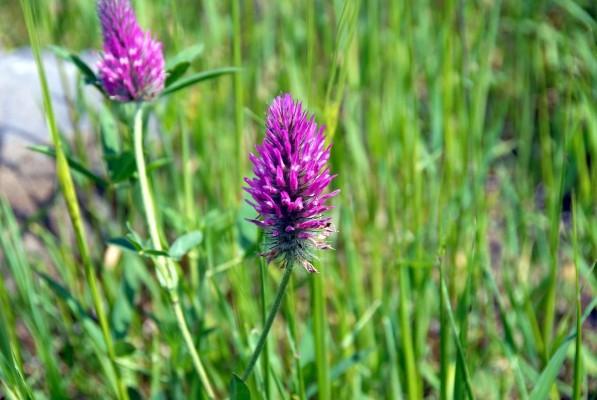 תלתן הארגמן Trifolium purpureum Loisel.