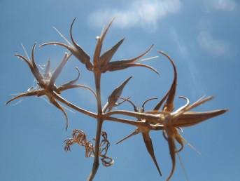 הפרי המרכזי בסוכך עבה, קוטרו עד 4 מ