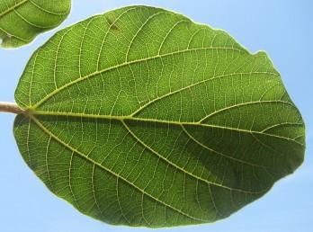 עצים בעלי עלים תמימים, ירוקי-עד.