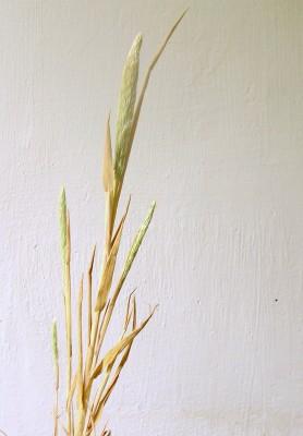 שילשון חופי Trisetaria koelerioides (Bornm. & Hack.) Melderis